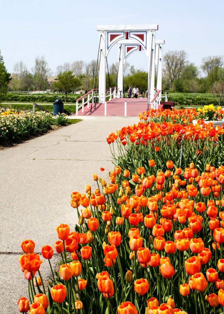 Orange tulips line the pathway to the bridge at Windmill Island Gardens. | The Epicurean Traveler