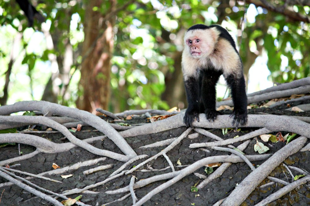White-faced capuchin checks out our river boat during an excursion with Swiss Travel. (Erin Klema/The Epicurean Traveler)