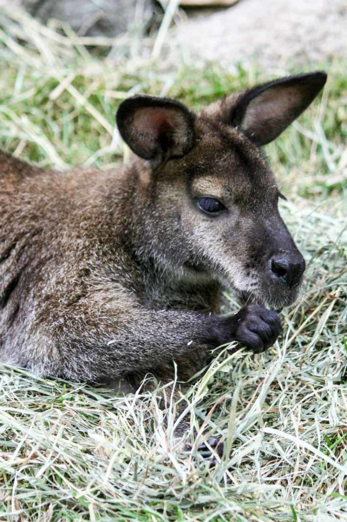 Visit John Ball Zoo in Grand Rapids, Michigan, to see this adorable wallaby. Get your travel tips today at EpicureanTravelerBlog.com!