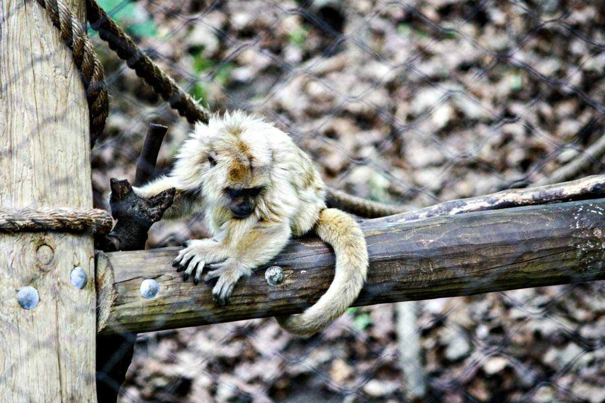 Head to John Ball Zoo to see this adorable howler monkey! See more cute zoo animals at EpicureanTravelerBlog.com!