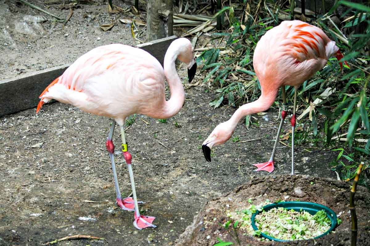 Pink flamingos feed at John Ball Zoo in Grand Rapids. See more adorable animals at EpicureanTravelerBlog.com!