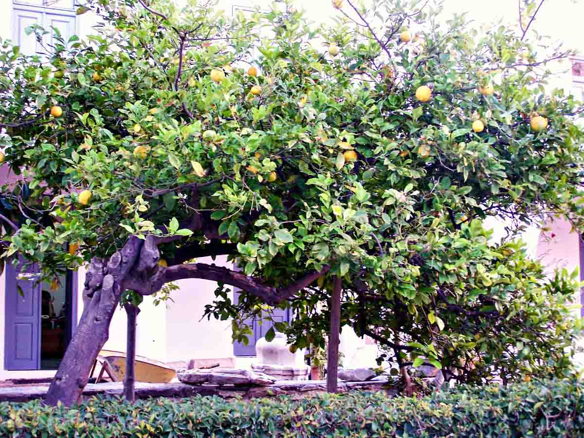 Lemon tree on Paros in Greece