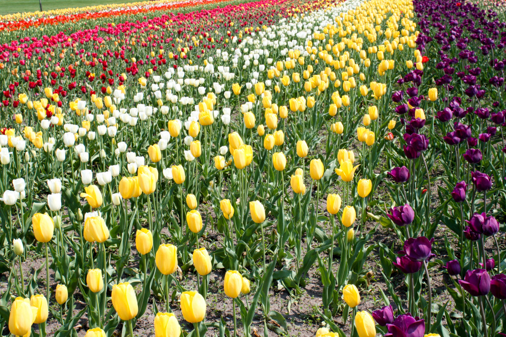 A tulip bed at Windmill Island Gardens in Holland, Mich., has rows of colorful flowers during the Tulip Time Festival. (Erin Klema/The Epicurean Traveler)