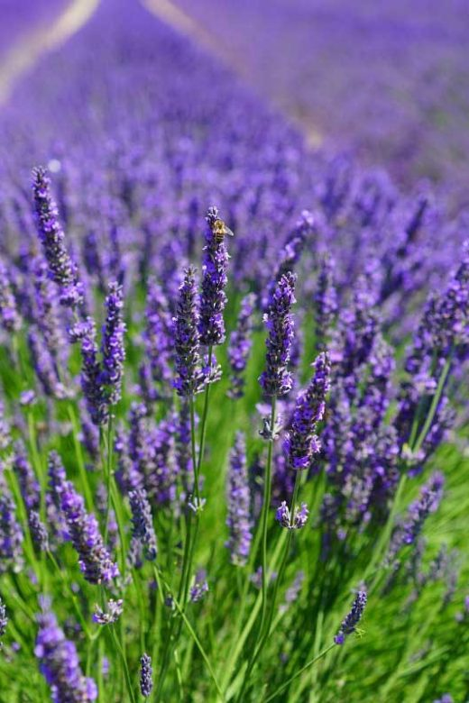 Where to see lavender fields in Michigan