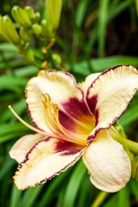 Daylily in Oliver Winery's garden