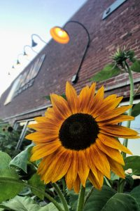 Sunflower outside Upland Brewing Co in Bloomington, Indiana