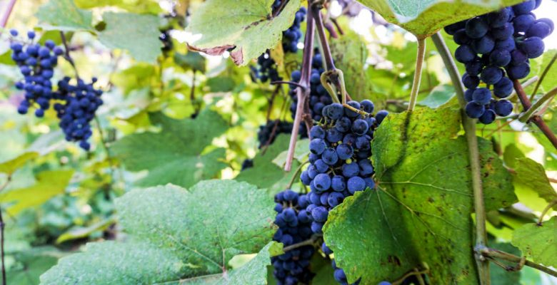 Norton grapes on the vine at Stone Hill Winery