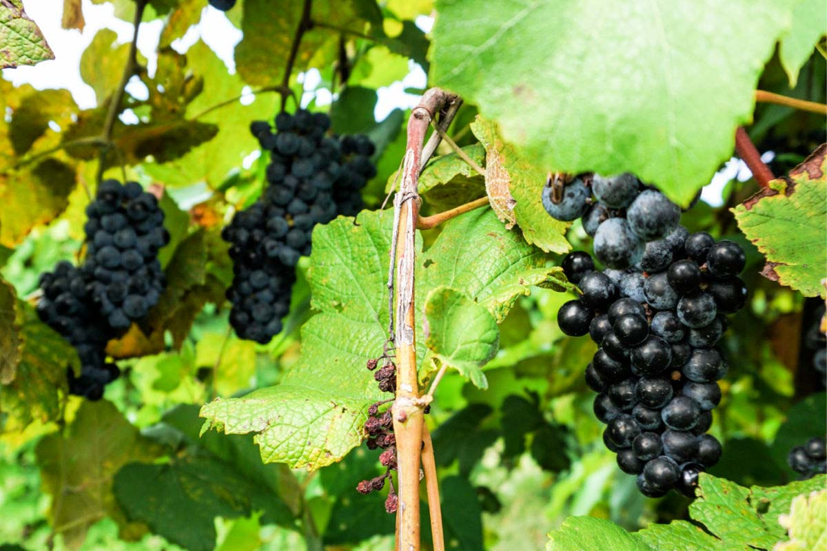 Norton grapes on the vine at St. James Winery in Missouri