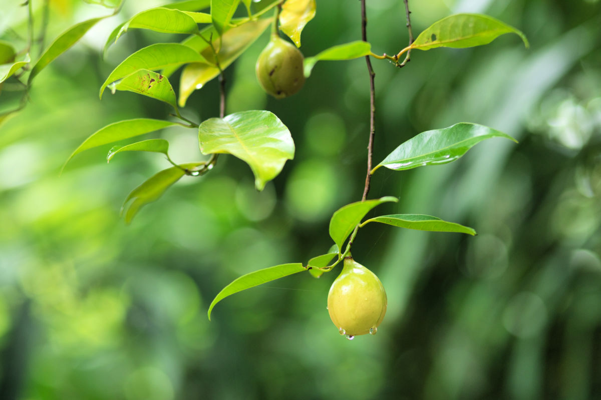 Fresh wild nutmeg hanging from tree